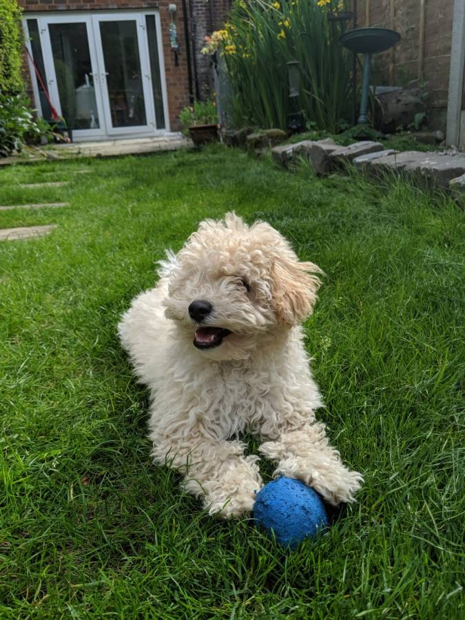 Paws For Thought Hills Science Plan Healthy Development Puppy Food Review by Fashion Du Jour LDN. BeigePoochon puppy playing in garden with blue ball