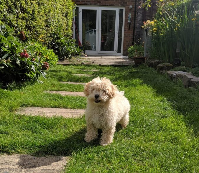 Paws For Thought Hills Science Plan Healthy Development Puppy Food Review by Fashion Du Jour LDN. Beige Poochon Pupp on grass in garden