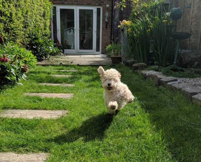 Paws For Thought Hills Science Plan Healthy Development Puppy Food Review by Fashion Du Jour LDN. Beige Poochon Puppy leaping through air running in garden