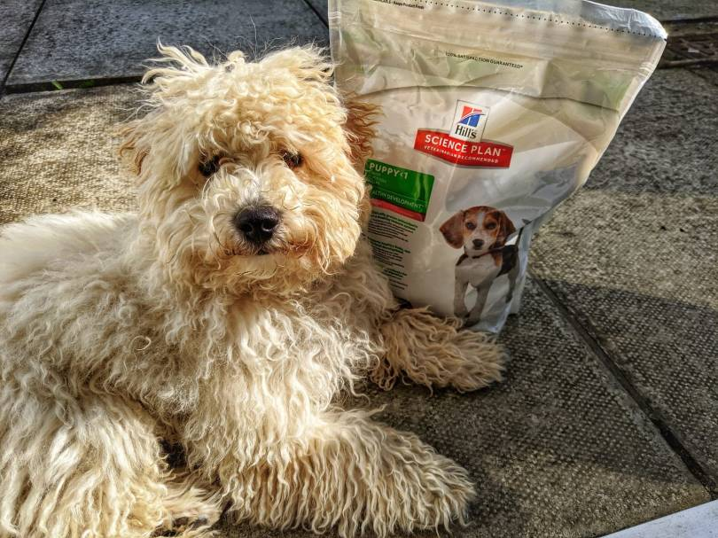 Paws For Thought - Hills Science Plan Healthy Development Puppy Food Review by Fashion Du Jour LDN. Beige Poochon Puppy