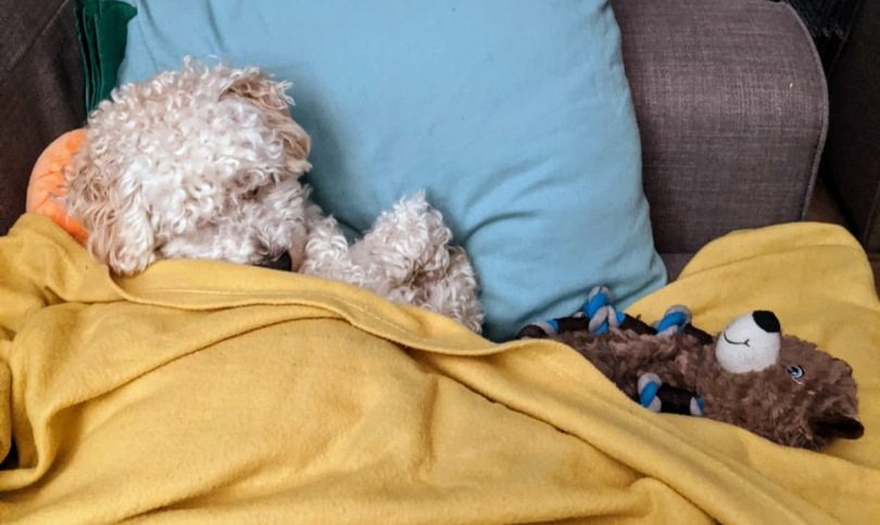 Stay Toasty: How To Save Money On Your Heating Bill. Poochon puppy tucked up on sofa in a yellow blanket, cuddling Kevin the Carrot Soft Toy